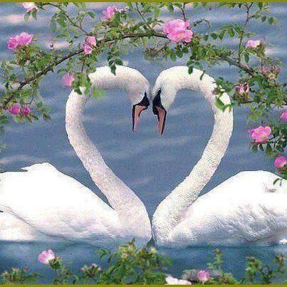 ハートスワン 白鳥